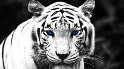 White Tiger full hd