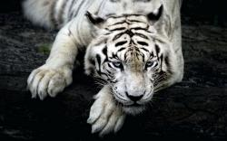 Description: The Wallpaper above is White tiger hd Wallpaper in Resolution 1680x1050. Choose your Resolution and Download White tiger hd Wallpaper