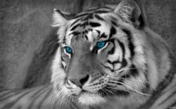 Wallpapers HD Iphone White Tigers