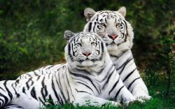 White Tiger Wallpaper 01