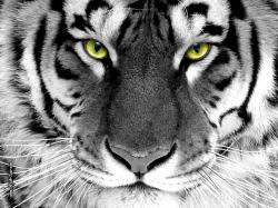 White Tiger 16 HD Wallpaper
