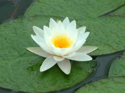 Water Lilies Wllpaper