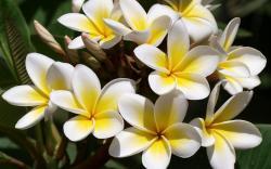 flowers Plumeria frangipani white yellow wallpaper background