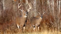 whitetail deers whitetail-deer-hd-wallpaper ...