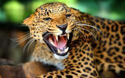 Wild Animal Leopard