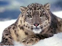 Wild cats Wallpapers (12)