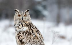 Winter Siberian Eagle Owl Bird