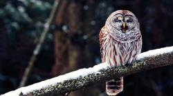 Winter Snow Branch Bird Owl Nature Photo