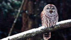 Winter Snow Branch Bird Owl Nature Photo