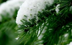 Beautiful Winter On Spruce Macro Wallpaper High Resolution Wallpaper