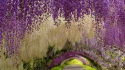 Widescreen resolutions (16:10): 1280x800 1440x900 1680x1050 1920x1200. Normal resolutions: 1024x768 1280x1024. Wallpaper Tags: wisteria beautiful tunnel ...
