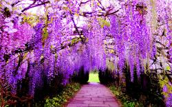Wisteria Tree Vine are famously known for the Wisteria Flower Tunnels in Japan, its one of my favorite trees and they smell incredible.