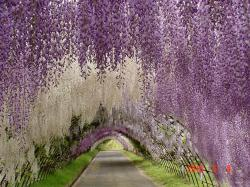 These photos were taken at the Kawachi Fuji Garden, about a four hour drive from Tokyo, but there are wisteria festivals all over Japan, including at the ...