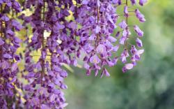Wisteria Purple Flowers Macro