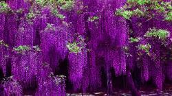 HD Violet Wisteria Wallpaper