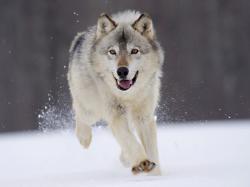 HD Wallpaper | Background ID:99447. 1600x1200 Animal Wolf