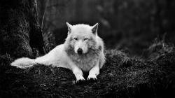 Wolf Wallpaper · Wolf Wallpaper ...