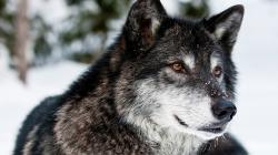 ... Wolf Wallpaper · Wolf Wallpaper