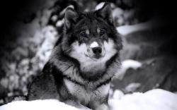 ... widescreen wolf wallpaper - blue eyes ...