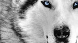 ... Wolf Wallpapers and Backgrounds 06 ...
