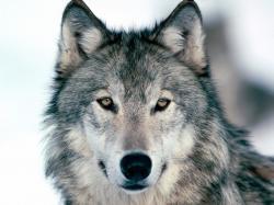 Wolves; Wolves; Wolves; Wolves; Wolves ...