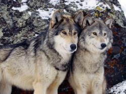http://www.everythingwolf.com/news/readarticle.aspx?article=234