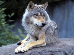 Wolves ~♥ Wolves ♥ ~