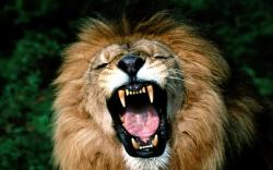 DOWNLOAD: Yawning Lion.jpg free picture 2560 x 1600