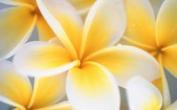 Hd Frangipani Flowers