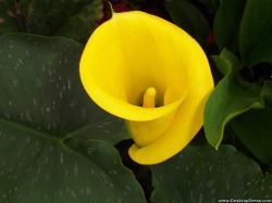 Yellow Calla Lily