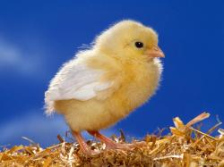 the Yellow chicken, baby birds, birds, Easter, holidays 1024x768
