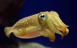Yellow cuttlefish