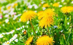 Yellow Dandelion · Yellow Dandelion Wallpaper ...