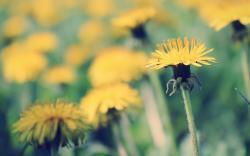 Yellow Dandelion Wallpapers 13873
