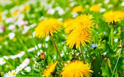Yellow Dandelion · Yellow Dandelion Background · Yellow Dandelion Wallpaper ...