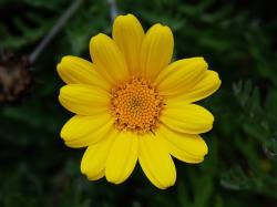 Wild Petunia, Wild Petunia, Willow Gentian, Yellow Chamomile