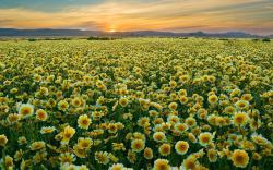 DOWNLOAD WALLPAPER Yellow Flowers Field - FULL SIZE ...