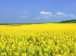 Mustard Flower Field, Yellow Flower Field Under the Blue Sky, Great Summer Scene 1600X1200
