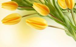 yellow mountain flowers wallpaper yellow tulip flower wallpaper-3