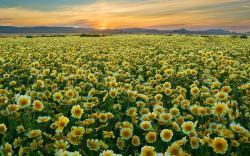 DOWNLOAD WALLPAPER Yellow Flowers Field - FULL SIZE ...