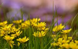 Yellow flowers field background