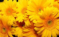 Yellow flowers hd