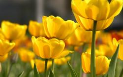 Yellow flowers petals buds