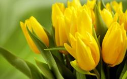 Tulips Yellow Flowers Leaves Spring HD Wallpaper
