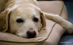 ... Rose yellow lab wallpaper ...