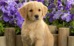 Yellow Lab Puppy 2387