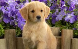 Yellow Lab Puppy 2387
