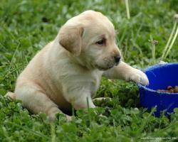 labrador retriever labrador