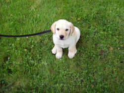 ... Anne's new Yellow Lab puppy, Enu | by fortinbras