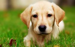 ... Yellow Lab Puppy ...